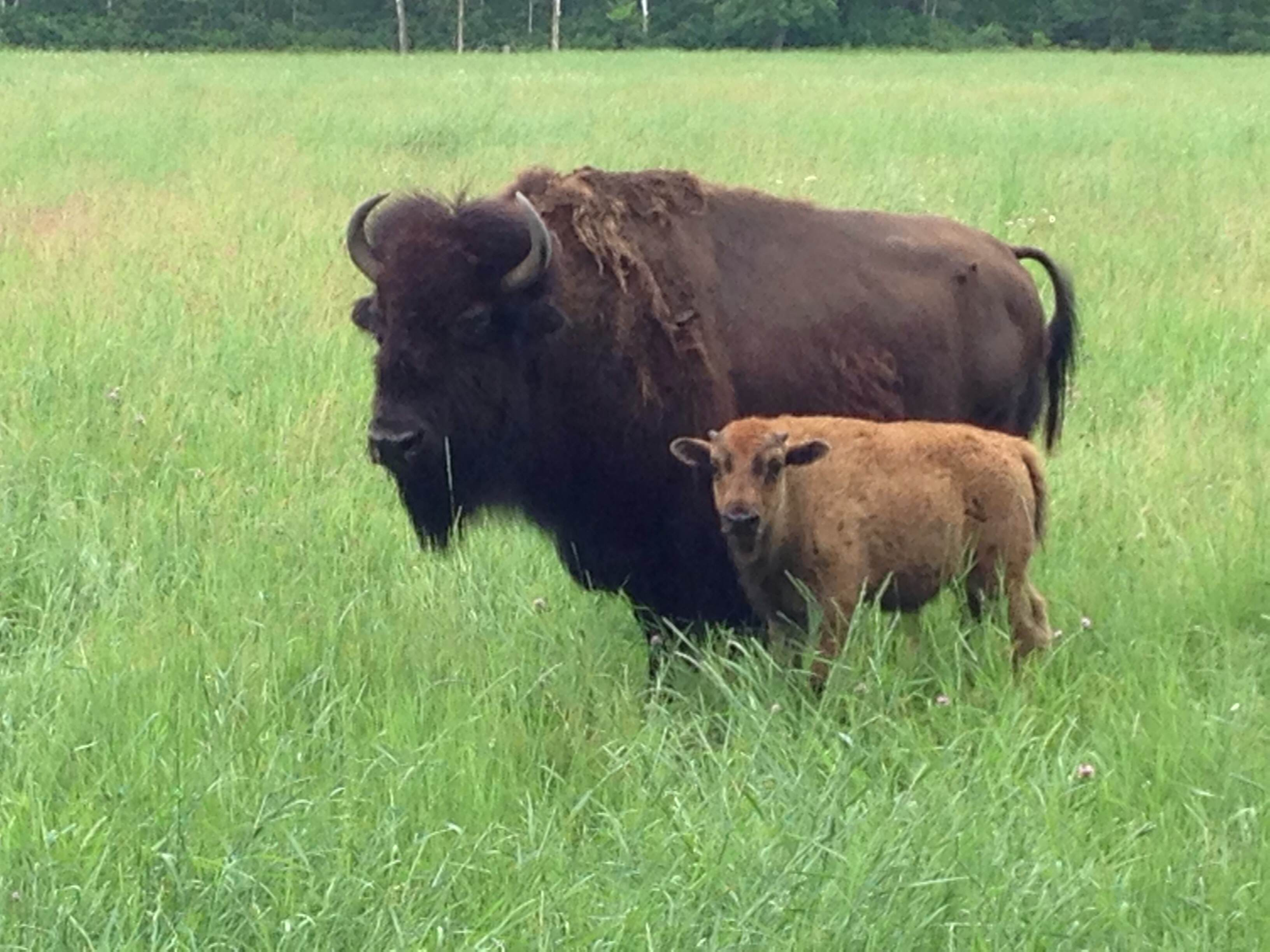 A Bison Eats 3 days on a grass fed ...